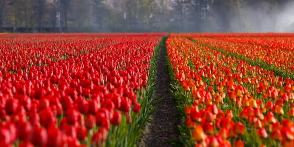 natural world tulips