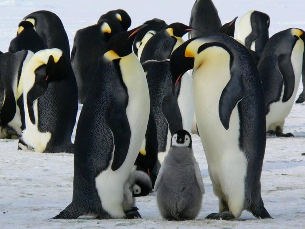 natural world penguins