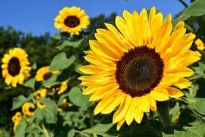 Sunflower seed oil for lips
